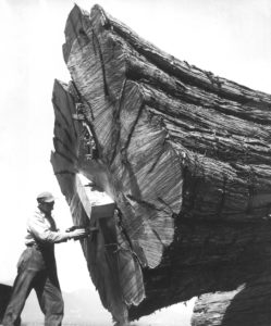 Tree Feller, Stanley Park